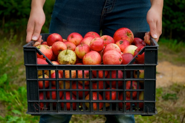 after-apple-picking-1-1320571